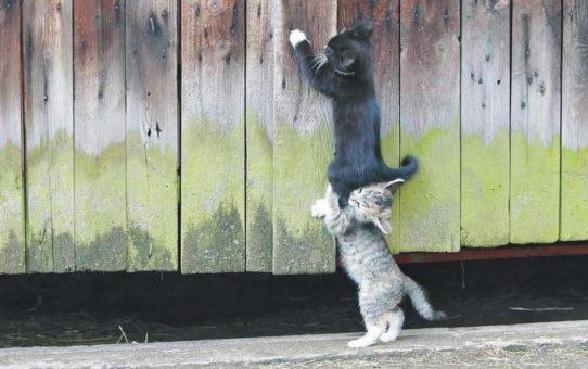 chatons-courte-echelle